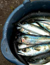 Spring Recipes Mackerel Cider Recipe